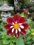 Λουλούδι Blume Στοκ Εικόνα