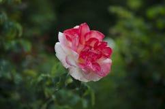 Λουλούδι bokeh Στοκ φωτογραφίες με δικαίωμα ελεύθερης χρήσης