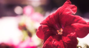 Λουλούδι Bokeh στοκ φωτογραφίες