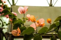 Λουλούδι Bougainvillea του βοτανικού κήπου στοκ εικόνες