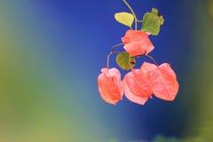 Λουλούδι Bougainvillea Στοκ Φωτογραφίες