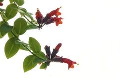 Λουλούδι Bracketplant Στοκ Φωτογραφία