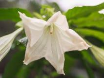 Λουλούδι Brugmansia σαλπίγγων του άσπρου αγγέλου στον κήπο με τα πράσινα φύλλα στοκ εικόνα με δικαίωμα ελεύθερης χρήσης