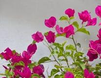 λουλούδι buganvilla bougainvillea Στοκ εικόνες με δικαίωμα ελεύθερης χρήσης