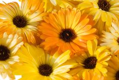 λουλούδι calendula ανασκόπηση&sigmaf Στοκ φωτογραφίες με δικαίωμα ελεύθερης χρήσης