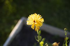 Λουλούδι Calendula κίτρινο στοκ εικόνες