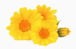 λουλούδι calendula Στοκ Εικόνες