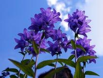 Λουλούδι Campanula από κάτω από την άποψη στοκ φωτογραφία με δικαίωμα ελεύθερης χρήσης