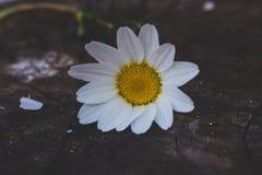 Λουλούδι Chamomile στο ξύλινο υπόβαθρο Στοκ Φωτογραφία