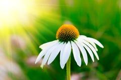 Λουλούδι Chamomile στοκ φωτογραφίες με δικαίωμα ελεύθερης χρήσης