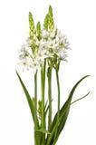 λουλούδι chincherinchee που απομο& στοκ φωτογραφία με δικαίωμα ελεύθερης χρήσης