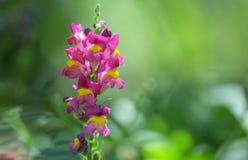Λουλούδι cirrhigerum Antirrhinum Στοκ Φωτογραφίες