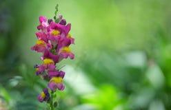 Λουλούδι cirrhigerum Antirrhinum Στοκ Εικόνες