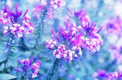 Λουλούδι Cleome, λουλούδι - αράχνη Στοκ Εικόνα