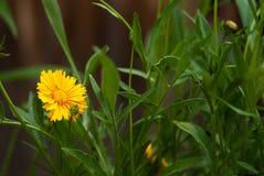 Λουλούδι Coreopis με τα φύλλα Στοκ φωτογραφίες με δικαίωμα ελεύθερης χρήσης