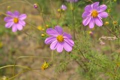 λουλούδι coreopsis Στοκ εικόνα με δικαίωμα ελεύθερης χρήσης