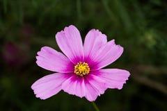 Λουλούδι Cosmo Στοκ εικόνες με δικαίωμα ελεύθερης χρήσης