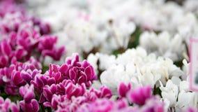 Λουλούδι Cyclamen στον τομέα λουλουδιών φιλμ μικρού μήκους
