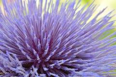 Λουλούδι Cynara 02 αγκιναρών Στοκ Εικόνα