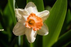 Λουλούδι Daffodil στον κήπο Στοκ φωτογραφία με δικαίωμα ελεύθερης χρήσης