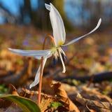 Λουλούδι Dogtooth Στοκ Φωτογραφίες