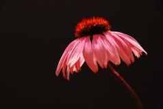 λουλούδι echinacea Στοκ Εικόνες