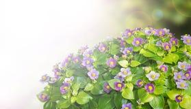 λουλούδι exacum ανασκόπησης Στοκ Εικόνες