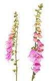 λουλούδι foxglove Στοκ φωτογραφία με δικαίωμα ελεύθερης χρήσης