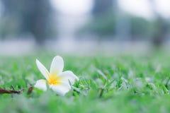 Λουλούδι Frangipani Plumeria στην πράσινη μαλακή εστίαση πατωμάτων χλόης Στοκ εικόνες με δικαίωμα ελεύθερης χρήσης