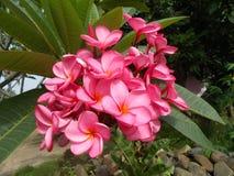 Λουλούδι Frangipani Plumeria Στοκ Εικόνες