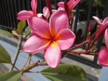 Λουλούδι Frangipani Plumeria Στοκ Φωτογραφία