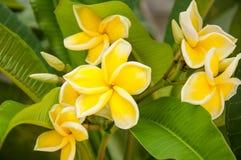 Λουλούδι Frangipani (Plumeria) Στοκ φωτογραφία με δικαίωμα ελεύθερης χρήσης
