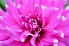 Λουλούδι Fuschia Στοκ φωτογραφία με δικαίωμα ελεύθερης χρήσης