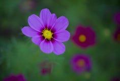 Λουλούδι Galsang Στοκ φωτογραφίες με δικαίωμα ελεύθερης χρήσης