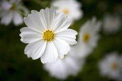 Λουλούδι Galsang Στοκ Εικόνα