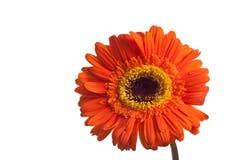 Λουλούδι Garberra που απομονώνεται στο λευκό Στοκ Εικόνες