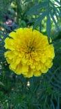 Λουλούδι Genda στοκ φωτογραφία με δικαίωμα ελεύθερης χρήσης