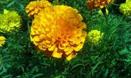 Λουλούδι Gendu στο odisha στοκ φωτογραφία