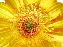 λουλούδι gerber κίτρινο Στοκ Εικόνες