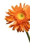 λουλούδι gerber Στοκ Εικόνα