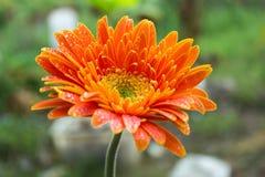 Λουλούδι Gerbera. Στοκ εικόνες με δικαίωμα ελεύθερης χρήσης