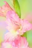 Λουλούδι Gladiolus Στοκ Φωτογραφίες