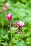 Λουλούδι glandulosa Aquilegia Στοκ Εικόνες