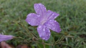 Λουλούδι Goodmorning Στοκ εικόνα με δικαίωμα ελεύθερης χρήσης