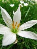 λουλούδι grass1 Στοκ Εικόνες