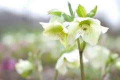 λουλούδι hellebores Στοκ εικόνες με δικαίωμα ελεύθερης χρήσης
