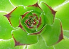 λουλούδι hoseleek στοκ φωτογραφίες με δικαίωμα ελεύθερης χρήσης