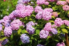 Λουλούδι Hydrangea στον κήπο Στοκ εικόνα με δικαίωμα ελεύθερης χρήσης