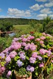 Λουλούδι Hydrangea στον κήπο Στοκ Εικόνες