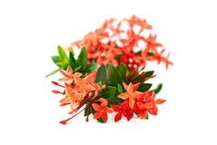Λουλούδι Ixora ή λουλούδι ακίδων που απομονώνεται στο άσπρο υπόβαθρο στοκ εικόνα